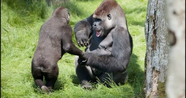 2 Gorilla Brothers Amazed Everyone With Their Emotions When They Were Reunited