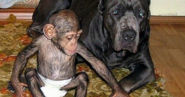 When A Mother Chimpanzee Died, She Left Behind An Orphaned Chimp. You've Got To See What Adopted Her Baby!