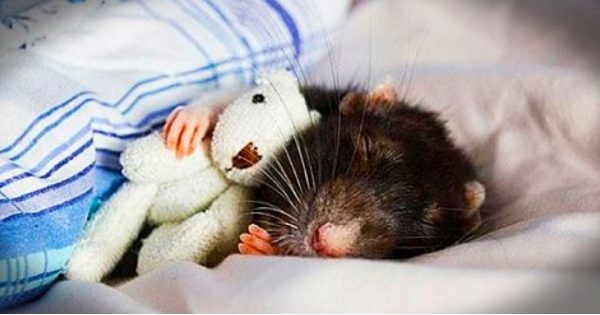 14 Precious Rat Photos That Prove God Doesn't Make Mistakes