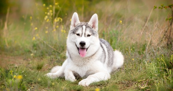 Siberian husky dog laying in grass