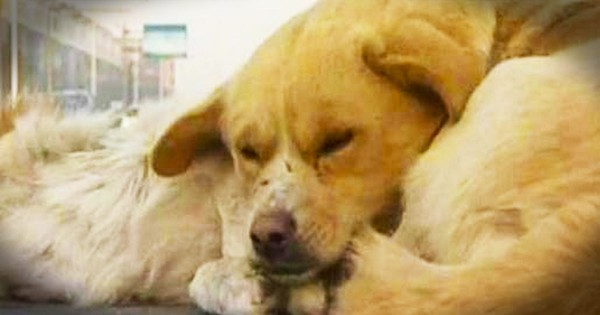 Dog Shows His Fallen Companion Kindness That Will Melt Your Heart
