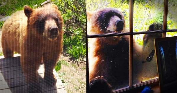 Grizzly Bear Breaks Into Cabin