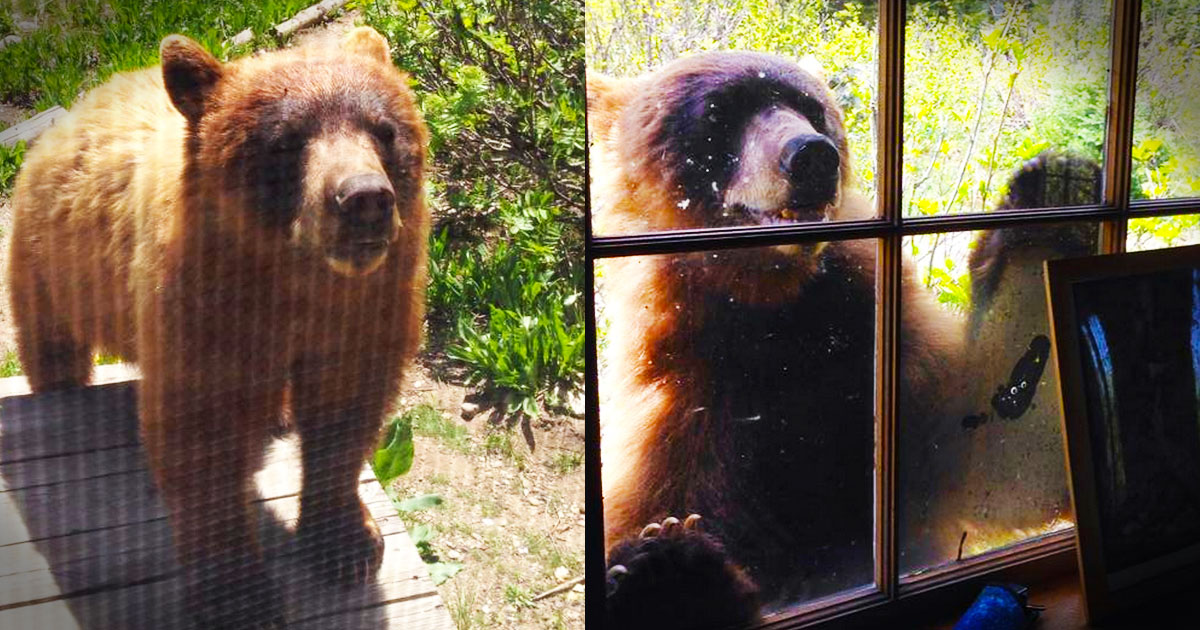 This cute and big oâ\u20ac™l grizzly just wanted some companyâ\u20ac¦ and perhaps some lunch too. But when no one was around to let him in he just decided to wait ... & Grizzly Bear Breaks into Cabin