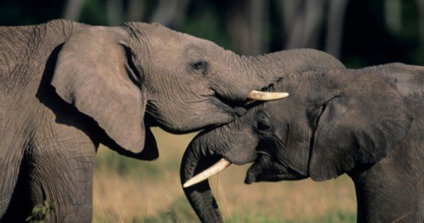 This Giant Elephant Was Trapped By A Tiny Thread. HOW This Is Possible May STUN You!