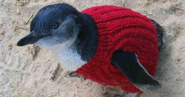 Tiny Sweaters Are Saving Penguin's Lives