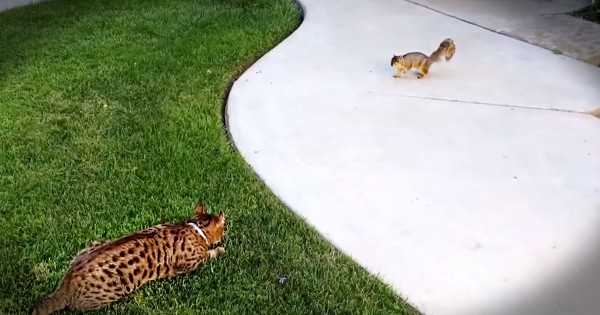 I Thought This Poor Squirrel Was Gonna Be Lunch But This Kitty Is A Serious Scaredy-Cat