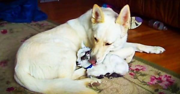 White German Shepherd Cuddles Baby Goat