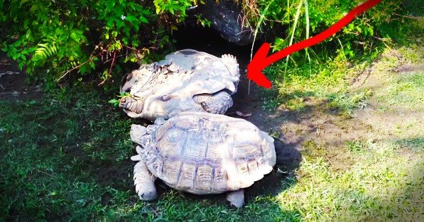 Adorable Turtle Helps His Turtle Friend Who Is In Trouble
