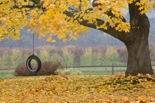 Sugar Maple (Acer saccharum) tree with a tire swing, Hood River, Oregon, USA
