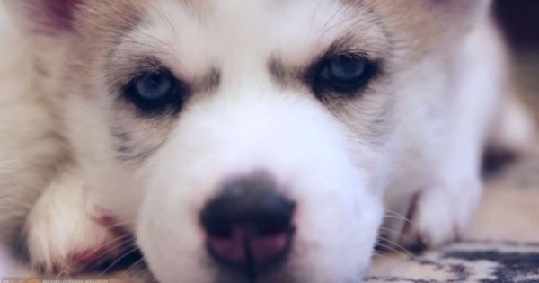 These Husky Puppies Just Rocked My World. Oh My Heart, I Can't Handle The Cute!
