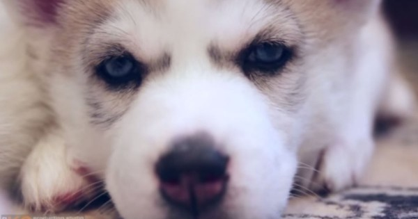 Adorable Video Of Husky Puppies Growing Up