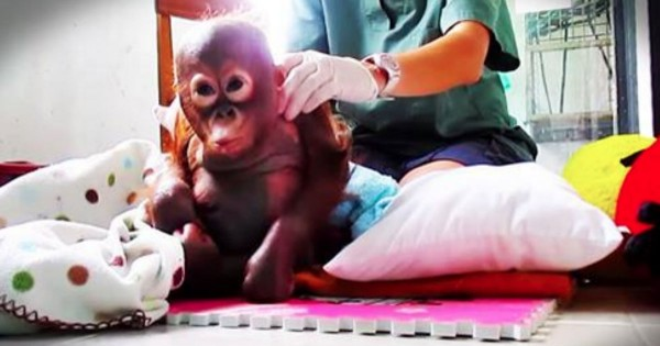 Baby Orangutan Rescued After Being Near Death From Starvation
