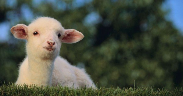 This Lamb Offers A GUARANTEE. And Can Be Trusted With Your Life!
