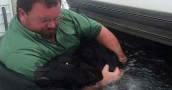 What This Farmer Did To Save His Dying Baby Cow Will Amaze You. God Bless His Heart!