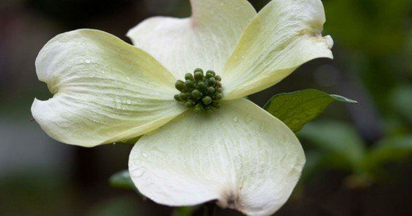 Dogwood Tree Legend Tells The Story Of Jesus' Crucifixion