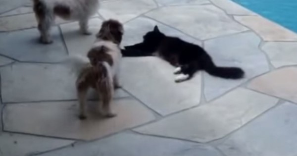 Apparently These Puppies Got A Little TOO Friendly. What Kitty Did Next Had Me Hitting Replay – LOL!