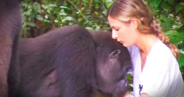 Family Who Saved Gorillas And Set Them Free Have A Reunion With Them 12 Years Later