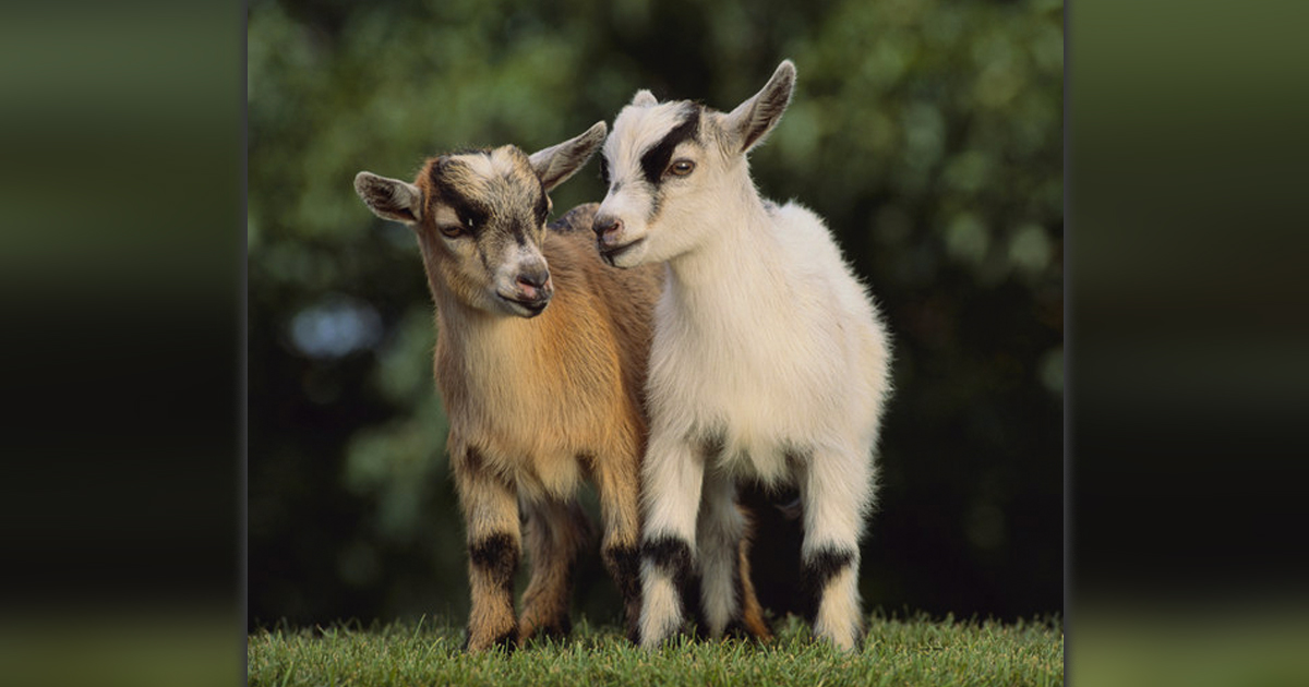 Goat Quotes Inspiration 48 Inspirational Quotes From Goats To Brighten Your Day