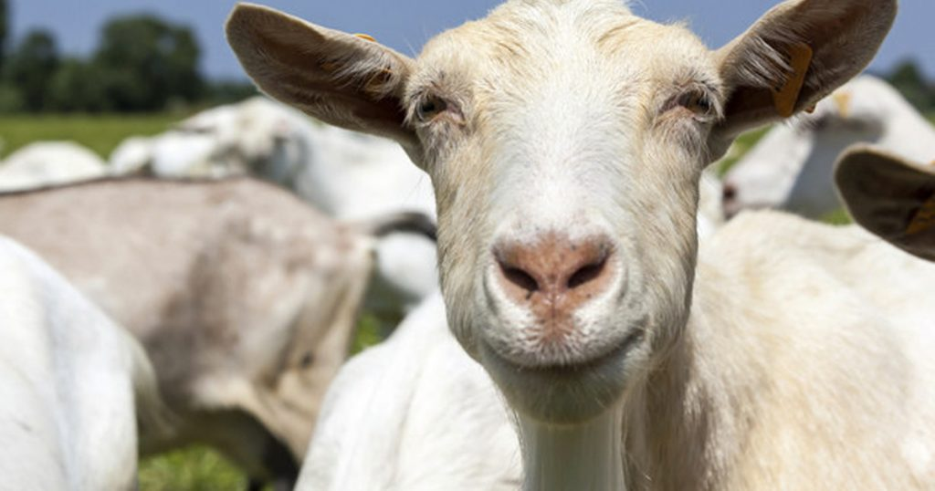inspirational quotes from goats _ everything inspirational