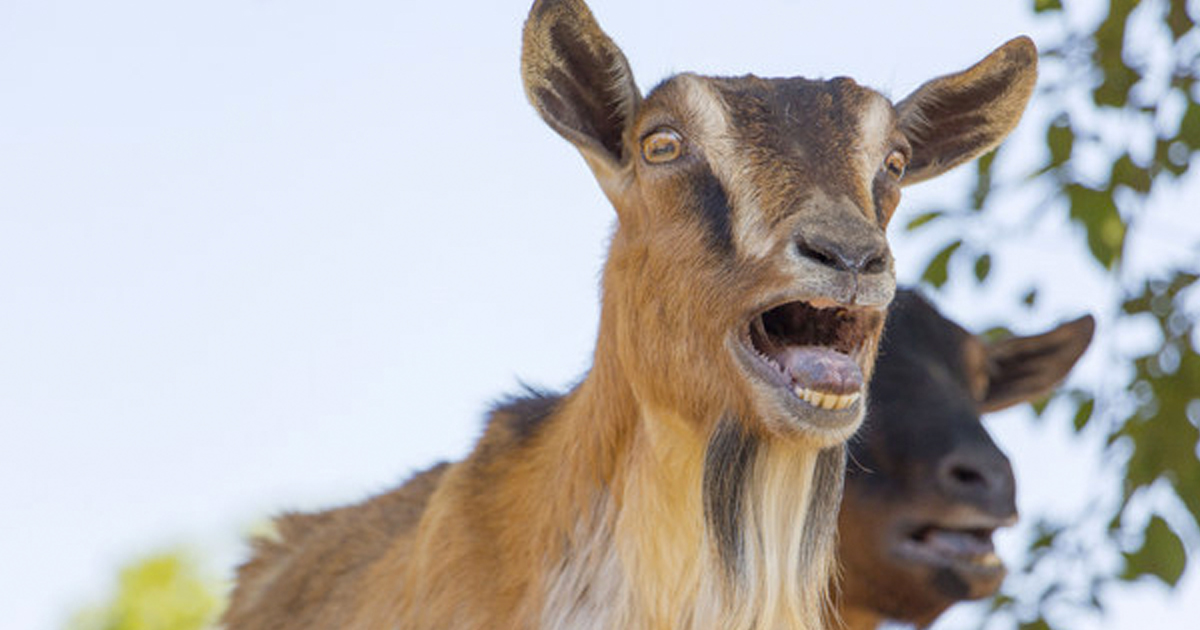 15 Inspirational Quotes From Goats To Brighten Your Day