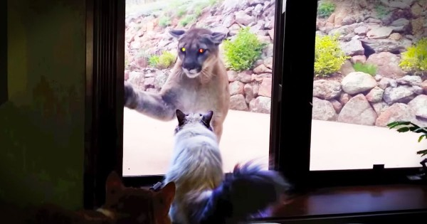 Apparently, This Brave House Cat Thought He Was Looking In A Mirror–LOL!
