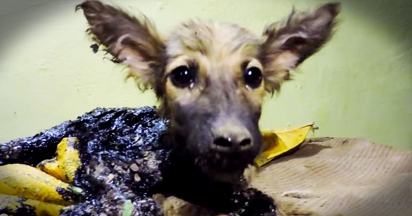 Puppy Dog Trapped In Tar Gets Amazing Rescue