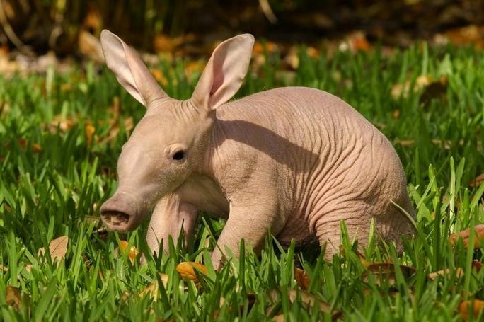 mj-goduodates-20-animal-babies-aardvark