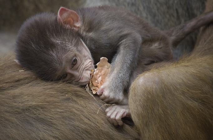 mj-godupdates-20-animal-babies-baboon