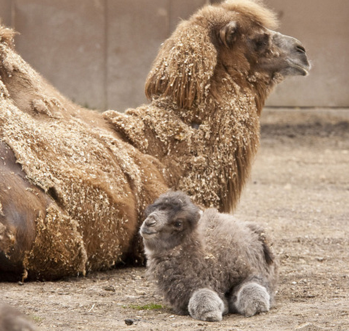mj-godupdates-20-animal-babies-camel
