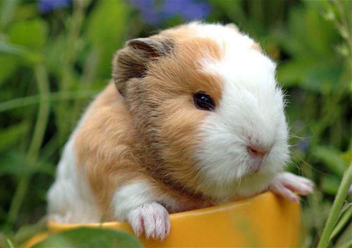 mj-godupdates-20-animal-babies-guinea pig