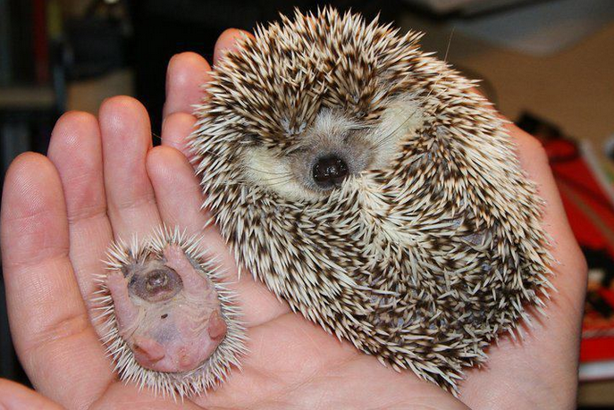 mj-godupdates-20-animal-babies-hedgehog