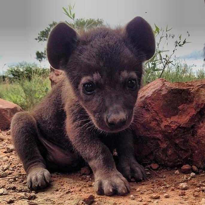 mj-godupdates-20-animal-babies-hyena