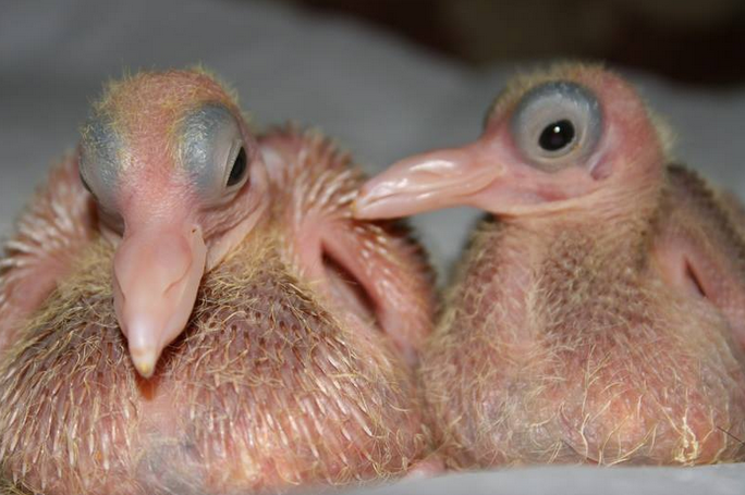 mj-godupdates-20-animal-babies-pigeons