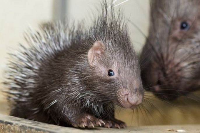 mj-godupdates-20-animal-babies-porcupine