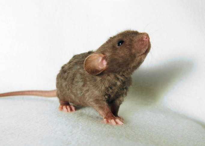 mj-godupdates-20-animal-babies-rat
