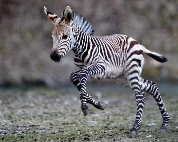 mj-godupdates-20-animal-babies-zebra