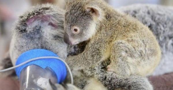 Baby Koala Hugs Mom Through Surgery