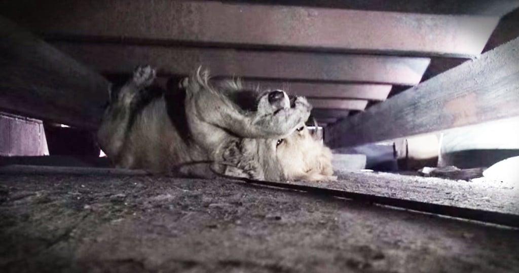 jd-godvine-golen retriever rescue hides her face-FB