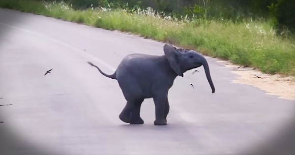Baby Elephant Calf Chases And Plays With Birds