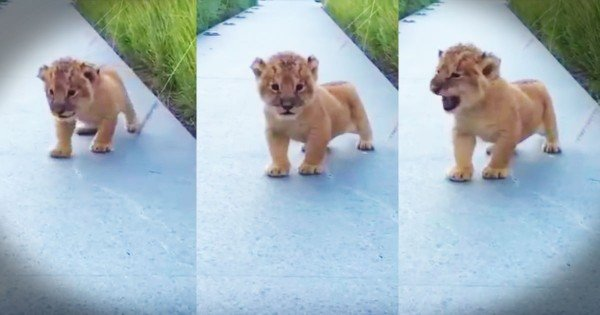 Lion's Tiny Roar Is Adorable…I Mean….Totally Frightening–LOL!