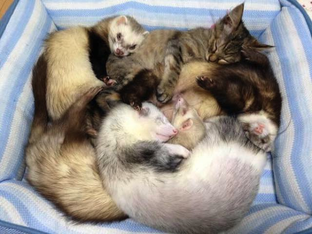 mj-godupdates-kitten-adopted-by-ferrets-2