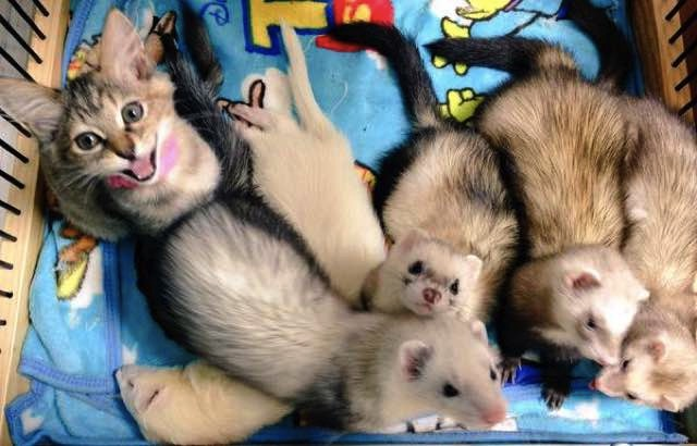 mj-godupdates-kitten-adopted-by-ferrets-3