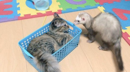 mj-godupdates-kitten-adopted-by-ferrets-6