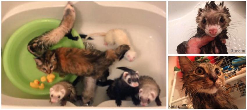 mj-godupdates-kitten-adopted-by-ferrets-7