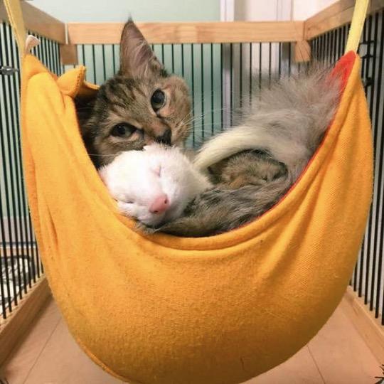 mj-godupdates-kitten-adopted-by-ferrets-8