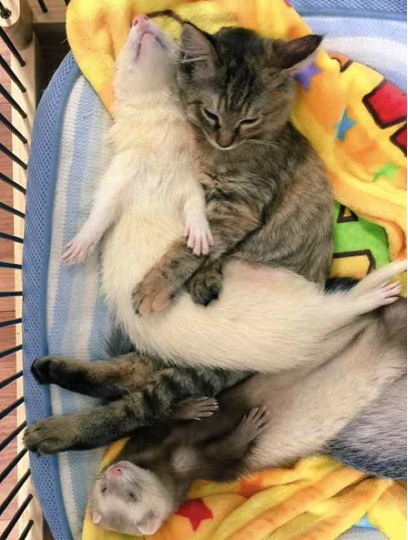 mj-godupdates-kitten-adopted-by-ferrets-9