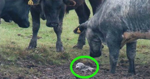 Herd Of Cows Stumble Upon A Stranded Seal In Their Field
