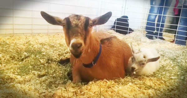Baby Goat Gets Reunited With His Mom After Being Kidnapped
