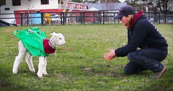 Rescued Injured Lamb Learns How To Walk
