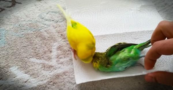 Heartbroken Bird Refuses To Let Go At Friend's Funeral